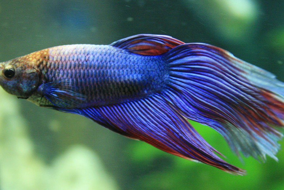What you should know about betta fish for Fish that get along with betta